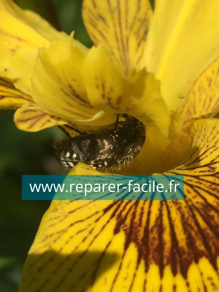 cétoine grise iris